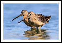 Dowitcher pair