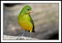 Painted Bunting (female)