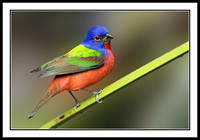 Painted Bunting (male)