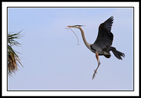 Great Blue Heron bringing nest material to mate