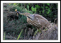 American Bittern with Crayfish