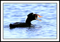 Surf Scoter eating clam