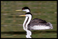 Clarks/Western Grebes