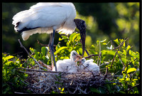Wood Stork With Nestlings