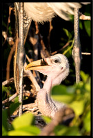 Wood Stork Chick Eating Fish