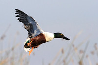 Northern Shoveler on approach