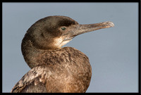 Double-crested Cormorant (juvi)