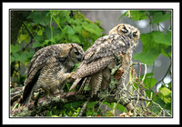Great-Horned Owls Grooming