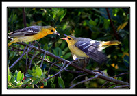 Oriole Mother Feeding Young