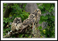 Great-Horned Owl Trio