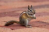 Chipmunk (Santa Fe, New Mexico)