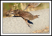 Quail mother leading her chicks