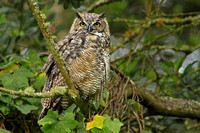 Card. Great Horned Owl