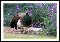 Peahen Mom with 12-week old Chick