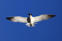 Forster's Tern (banded)