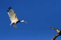 White Ibis landing on tree