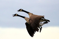 Canada Geese on approach