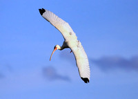 White Ibis approaching to land