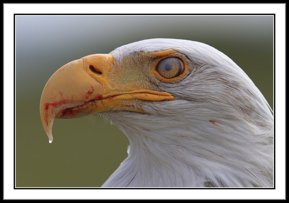 Bald Eagle after eating meal. Note nictitating eye membrane.
