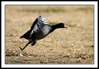 Coot taking off