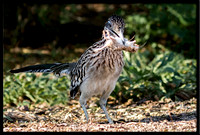 Greater Roadrunner With Prey