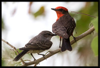 Vermilion Flycatcher (father and baby)