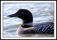 Common Loon (mating plumage)