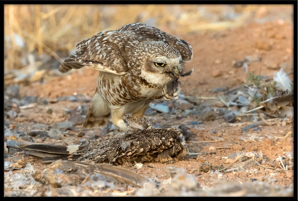 Burrowing Owl With Cooper's Hawk Prey